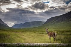 Glencoe is on my list of favourite places after my recent trip would love to spend a few nights camping there  - - - - #photography #landscape #nature #wildlife #westhighlandway #deer #doe #glencoe #highlands #visitscotland #lensbible #viewbugfeature #nikon #nikonartists #d7200 #insta_scotland