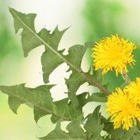"""Real Food Right Now and How to Cook It: Dandelions: This Real Food's English name comes from the French dent de lion (""""lion's tooth""""), likely owing to its tooth-like serrated leaves. Dandelion greens are at their best in the spring to very early summer, before the flowers begin to bloom, while the yellow flowers can be harvested throughout the summer and into early fall."""