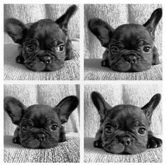 Frenchie Faces