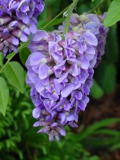 this is the non-invasive wisteria created in the carolinas!  Wisteria frutescens 'Amethyst Falls' WISTERIA 'AMETHYST FALLS' from Sooner Plant Farm