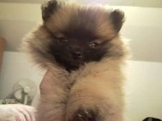 I luhhh Poms. Pom Pom Puppies, Diamond Clothing, German Spitz, Pomeranians, Love Bugs, Snuggles, Peace And Love, Puppy Love, Baby Girls