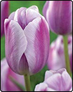 Tulip 'Silverstone'