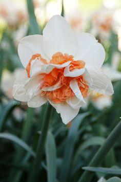 Daffodil - Replete