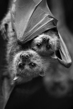 Mom and baby fruit bat