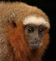 Red Titi - Bing images
