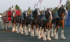 Clysdale Horses, Draft Horses, Clydesdale Horses Budweiser, Budweiser Commercial, Animals And Pets, Cute Animals, Shire Horse, Year Of The Horse, Beautiful Horses