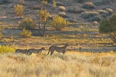 Cheetah family in the Nossob river bed in the Kgalagadi Transfrontier Park, Kalahari Desert, South Africa: Photographed by Shane Saunders  (Cape Town, RSA)