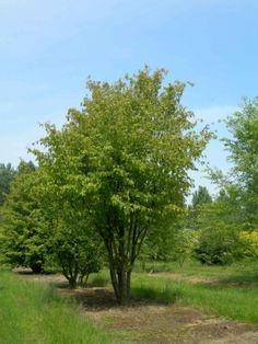 Parrotia Persica Van den Berk Boomkwekerijen   Voorbeelden van meerstammige bomen