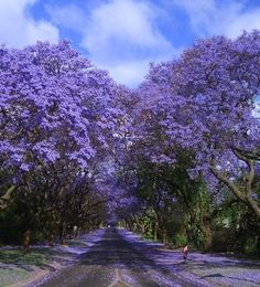 Harare, Zimbabwe beautiful jacaranda trees line most streets in town center Harare. Where it all began for Kevia as a designer; I studied and began designing in Zimbabwe in 1997.