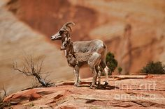 Desert Bighorn Sheep: See more at:  http://fineartamerica.com/profiles/robert-bales.html