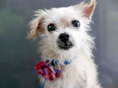 SANDY - ID#A737764 **Senior**  Austin Animal Center I am a tan, spayed female, who looks like a Norfolk Terrier mix.  I am estimated to be 11 years old .PetHarbor.com: