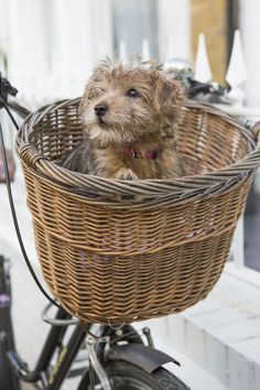 Adorable Norfolk Terrier.