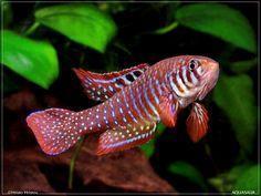 Simpsonichthys Santanae, Killifish species (no common name)