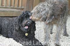 Let me get that for you! Labradoodles, caring from tip to tail!