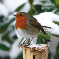 In Victorian times the postmen wore a red tunic as part of their uniform and were nicknamed 'Robin Redbreasts' after the birds, and Robins became thought of as a Christmas bird Pretty Birds, Love Birds, Beautiful Birds, Animals Beautiful, Cute Animals, Birds Pics, Simply Beautiful, Vogel Gif, Robin Redbreast