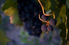 Uvas de La Rioja. Foto de Carlos Glera (Trece Marketing) para #ReservaLaRioja