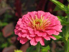 2012- Today I planted magellan pink Zinnias... 24 of them!