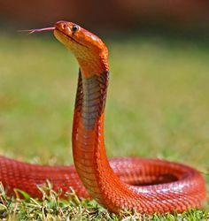 Orange cobra