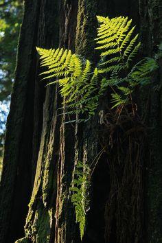 Fern on Redwood, Stout Grove, Jedediah Smith Redwoods State Park