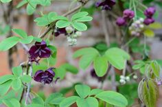 Discover five beautiful plants for a north-facing wall, including ivy, Chinese virginia creeper and clematis, with help from BBC Gardeners' World Magazine. Garden Shrubs, Shade Garden, Garden Pots, Garden Ideas, Garden Trellis, Garden Inspiration, Backyard Ideas, North Facing Garden, North Garden