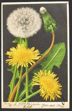 vintage dandelion postcard