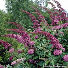 Many gardeners plant several butterfly bushes together, so they grow into a shrub-like clump with blooms in all the colors--purple, pink and white. Description from americanmeadows.com. I searched for this on bing.com/images