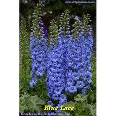Синий Кружева Delphinium Co Nz