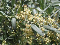 Fleurs d'olivier - élixirs floraux du laboratoire DEVA