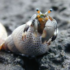 Hermit Crab in a Periwinkle Shell
