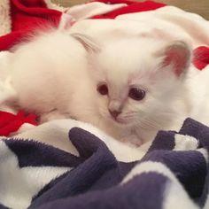 Cutiepie Plopp ##minivaniljer #minivaniljerna2016 #birma #birman #breeder #catsofinstagram #chokladochvanilj #kitten #pinkalicious #welovecats #we_love_cats
