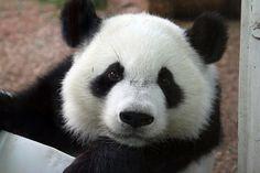 I Love Panda Bears!!!!!!!!!