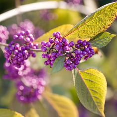These low-maintenance, low-light shrubs add beautiful color to your yard with little work! Learn more about shrubs for your garden and how to chose them. Plant shrubs in your garden, they grow well in shade for great privacy and a colorful accent to your home!