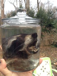 Raccoon Head in a Jar - Preserved Wet Specimen Taxidermy