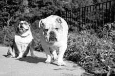 Animal Welfare League, Animal League, School Photographer, Pet Photographer, Cow Pictures, Animal Pictures, Dog Love, Animals And Pets, Labrador Retriever