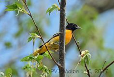 We saw a Baltimore and Orchard Oriole up close and personal . . . so all was not lost.