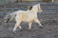 """Gorgeous Dunskin Colt AMHA and AMHR registered and estimated to mature around 32-33"""".  His sire is an Alvadars Double Destiny son. Located in Iowa. Contact Maple Hollow Miniatures http://lilbeginnings.com/saleboard/adsDetails.php?adid=68344"""