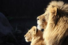 Nature.  Loooove. Nothing like a lion and his lioness. Pure power and magnificence.
