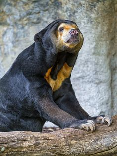 Posing sun bear by Tambako the Jaguar, via Flickr
