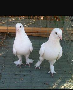 Weird Birds, Pigeon, Parrot, Animals, Parrot Bird, Animales, Animaux, Animal, Animais