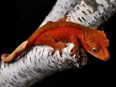 Red Dalmation Bicolor Crested Gecko