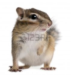 7980322-close-up-of-a-siberian-chipmunk-euamias-sibiricus-in-front-of-white-background.jpg 1,131×1,200 pixels