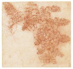 Leonardo da Vinci - Drawings - Plants - 05.JPG