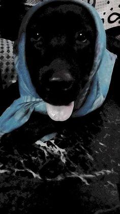 Yellow Lab Puppies, Black Labrador Dog, Labradoodle, Labrador Retriever, Pitbulls, Dogs, Animals, Accessories, Labrador Retrievers