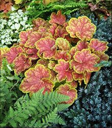 'Tiramisu Coral Bells' - Very showy; chartreuse foliage with brick red coloration that radiates out from central leaf veins; lightens with slight silver overlay in summer (From the list of great, easy-to-grow perennials that can be star performers in your garden.)