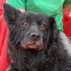 """Please help us find a hero for broken-hearted Sammy, a 12-year-old sweetheart who became homeless because his previous owner had """"not enough time"""" for him.  Sammy is housetrained, good with kids, and happy to get belly rubs.  He is a blend of many breeds (likely Border Collie, Flat Coated Retriever & Shepherd), a neutered boy, debuting for adoption today at Nevada SPCA (www.nevadaspca.org).  Sammy is recovering from neglect and he loves people, but prefers not to have other dogs around."""