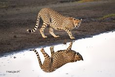 Cheetah Reflection by MyKeyC on Flickr.