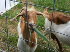 Goats Better Than Chemicals For Curbing Invasive Marsh Grass | September 25, 2014 | Herbivores, not herbicides, may be the most effective way to combat the spread of one of the most invasive plants now threatening East Coast salt marshes, a new Duke University-led study finds.