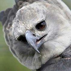 Arpia (Harpia harpyia - fam. Accipitridi) Americhe