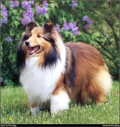 Sheltie | The Days of the Week