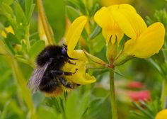 Bombus ruderarius Red-shanked Carder-bee Bees And Wasps, Insects, June, Red, Animals, Animales, Animaux, Animal, Animais